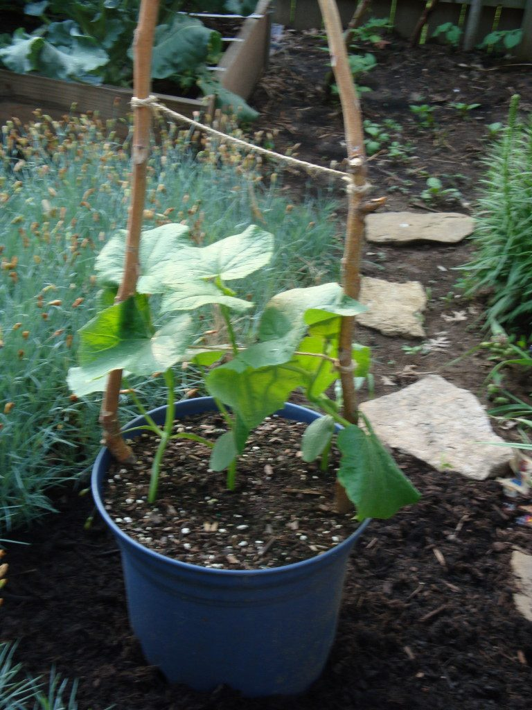 Cucumbers growing up a homemade trellis of twigs and twine.