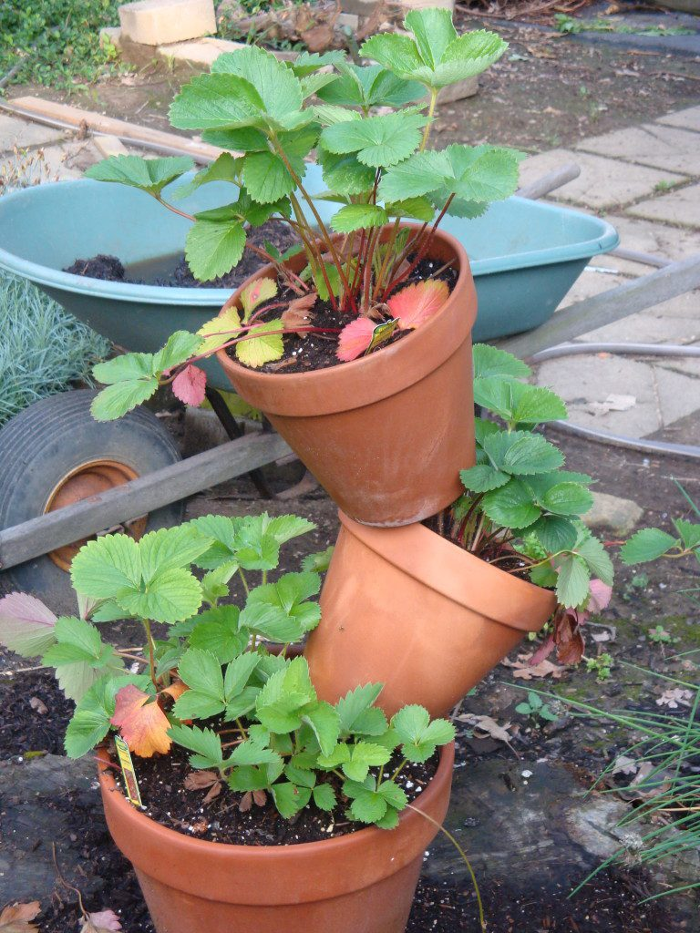 Strawberry Tipsy Pots