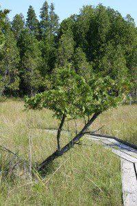 The boardwalk into Cedar Bog